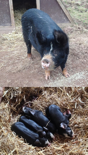 Acorn and her piglets